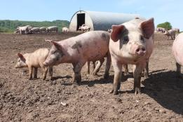 cerdos granja