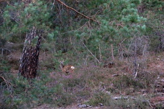 ciervo soria