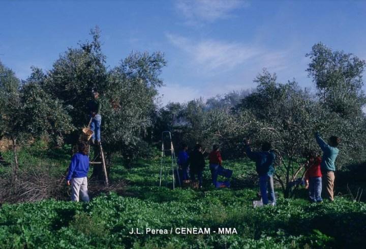 Los recién llegados al aceite de oliva concentran los riesgos deimpago