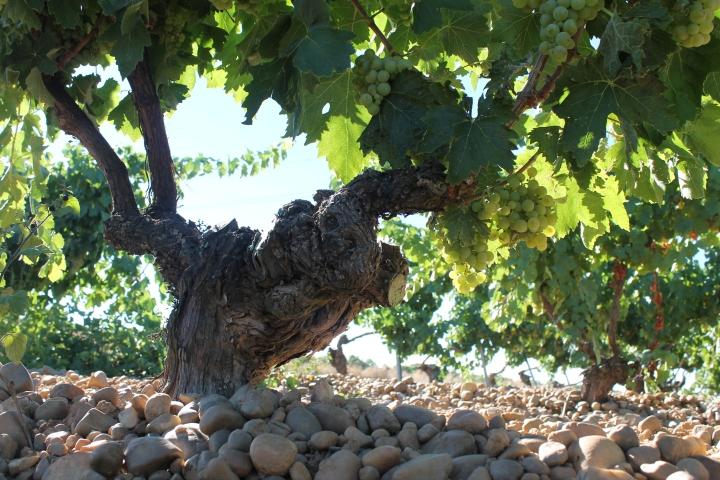 Gran calidad de los vinos cosecheros en el certamen 'Pozaldez, pueblo deVerdejo'