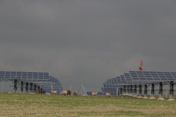 ovejas paneles solares 11