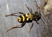 Imagen 1.- Adulto de X.arvicola_0.tamaño grande (500x500)
