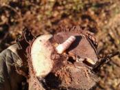 Imagen 2.- Larva de X.arvicola.tamaño grande (500x500)