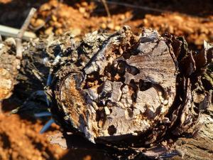 Imagen 3.- Sintomas de larvas de X.arvicola en los cortes de poda.tamaño grande (500x500)