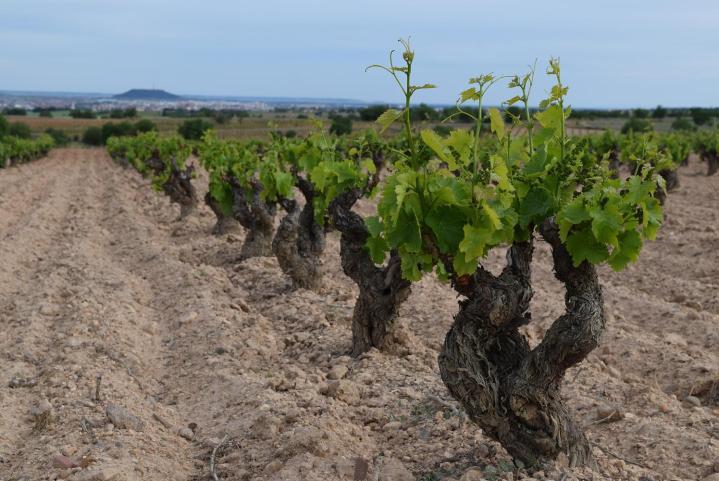 La producción provisional de vino y mosto en la actual campaña 2017/18 se sitúa en 35,6 millones dehectolitros