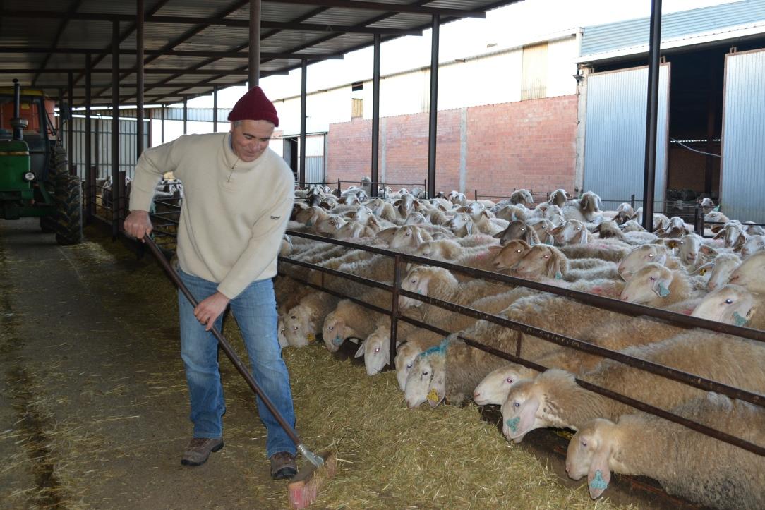 Ganadero de ovino assaf Javier Alonso 4