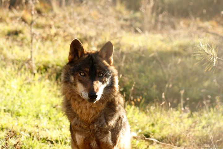 'Pastando con lobos'