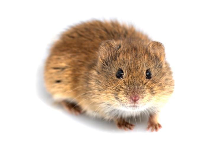 Las poblaciones de topillos modulan el riesgo de tularemia en el medioagrario