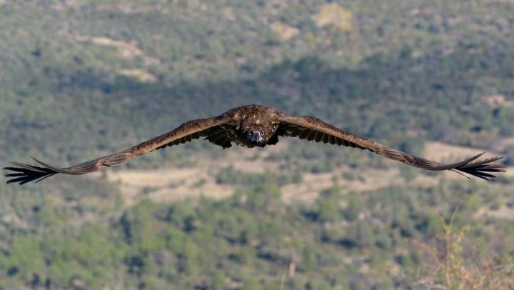 20200522+Foto+3_Crédito_Buitre+negro.+Reserva+Natural+del+Valle+de+Iruelas.+Foto+Fauna+Salvaje+en+Acción