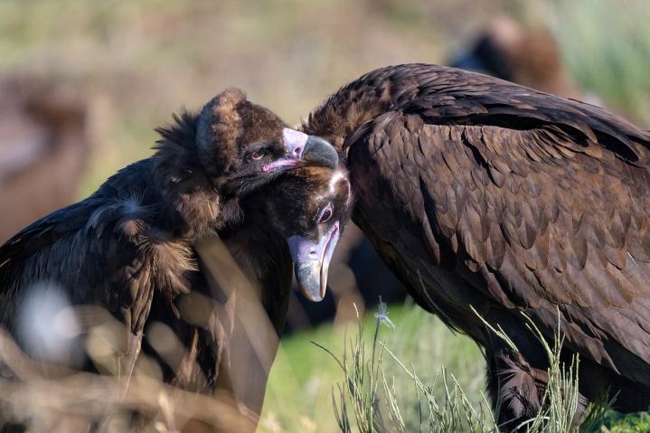 La población reproductora de buitre negro mantiene una tendencia positiva en Castilla yLeón