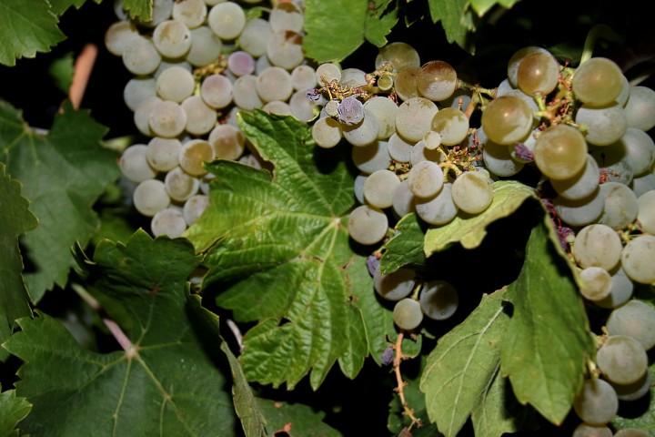 El sector vitivinícola y la Consejería de Agricultura, Ganadería y Desarrollo Rural reclaman al Ministerio de Agricultura que atienda las necesidades de Castilla y León derivadas delCovid-19