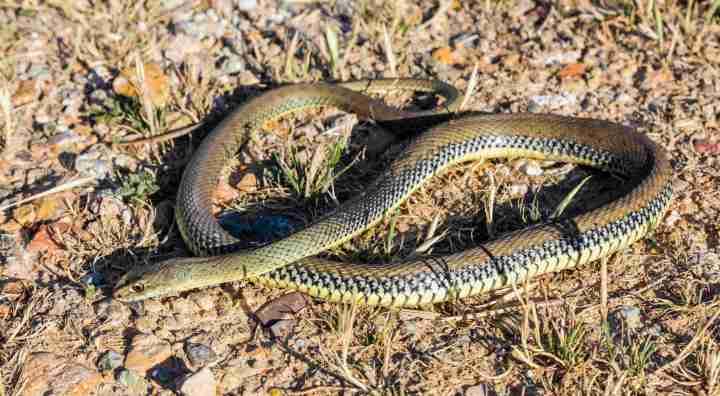 GREFA y la Unión de Campesinos de Segovia-UCCL buscan cambiar la imagen negativa de las serpientes en el mediorural