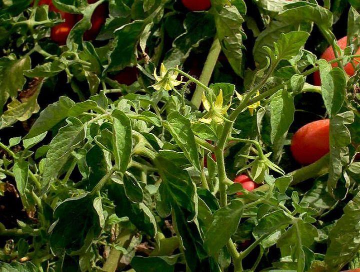 Domesticar cultivos en solo una generación, ya es posible gracias a la edicióngenética