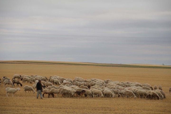 Diversificar en productos y mercados, claves del sector ovino para mirar alfuturo